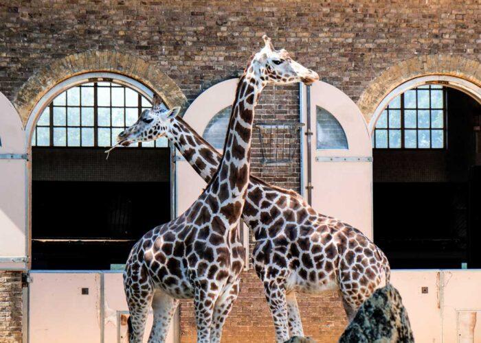 2 Giraffes eating at London Zoo